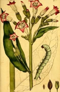 Bild einer Tabakpflanze